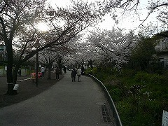 約4.3キロ続くせせらぎ公園のサクラ並木